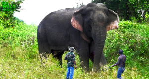 Wounded Wild Elephant
