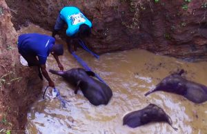 Wildlife team rescues baby elephant from dying in a well