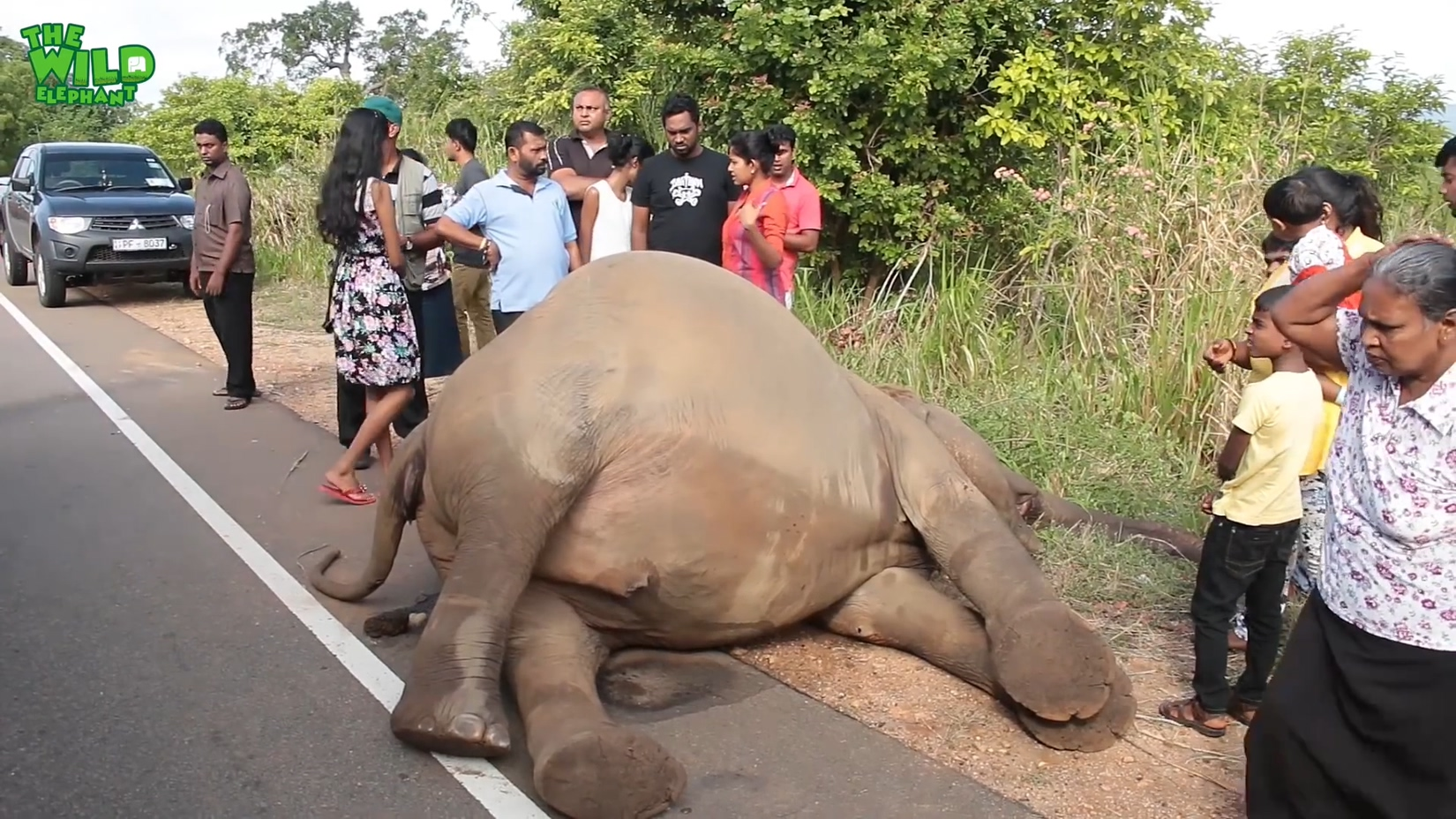 Elephant Hit by a Vehicle: A Tragic Ending for the little one