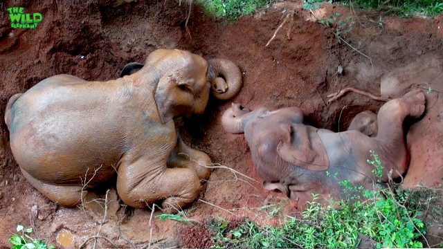 Fallen Elephant Gets Rescued After Being Trapped: A Dedicated Wildlife Team In Action