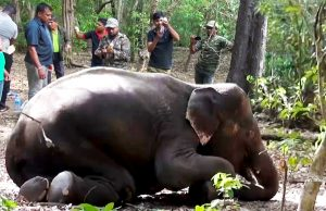 Shot In The Woods: A Heroic Attempt To Save Another Elephant