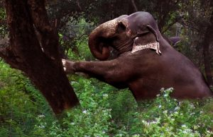 Wildlife team trying to inject elephant | wildlife team giving medical treatment to elephants