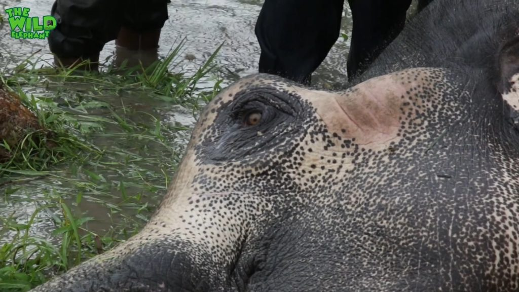 Wounded elephant struggling in the water (part 2)
