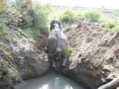 Wildlife team rescues an elephant from dying in a mud pit