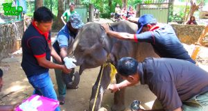 Group of vet doctors injecting a raging wounded elephant