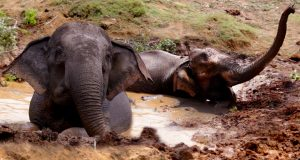 The Elephant That Didn't Want To Get Out Of The Mud