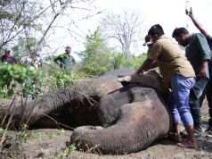 Injured Elephant In The Mud: Wildlife team to the rescue, an uplifting tale of triumph