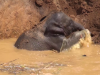 Help For The baby elephant That Was Stuck In The Mud