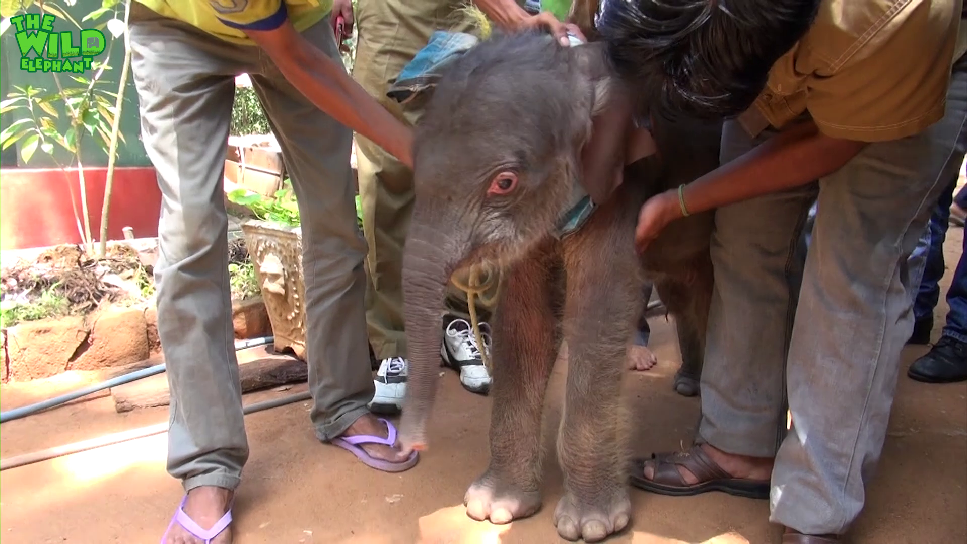 Wildlife team feeds little elephant with milk and also gets treated