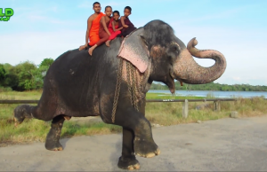 Monks And Huge Elephant Having Nice Time Bathing In A River | Step By Step On How To Wash Elephant