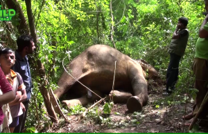Electrocuted Elephant: A Desperate Rescue Attempt