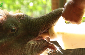 A Wildlife Team Looks After Cute Little Elephants: A touch of humanity