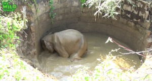 Baby elephant chased into the forest after being rescued from a well