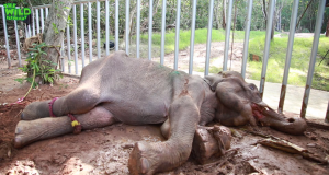 An Elephant Who Ate Hakka Patas: The Reality of Wildlife Food Poisoning