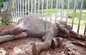 An Elephant Who Ate Hakka Patas: The Reality of Wildlife Food Poisoning