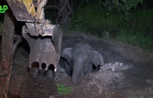 Young elephant falls into the concrete water well, gets rescued by wildlife rescue team