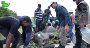 Fallen Giant Sick elephant gets transported to the elephant orphanage (part 2)