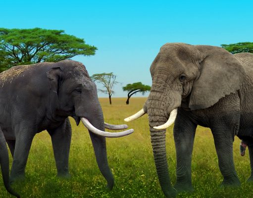 Differences between Asian Elephants and African Elephants.