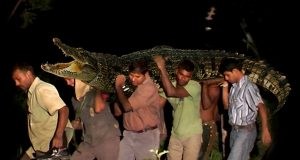 Villagers risk their lives to save a crocodile.