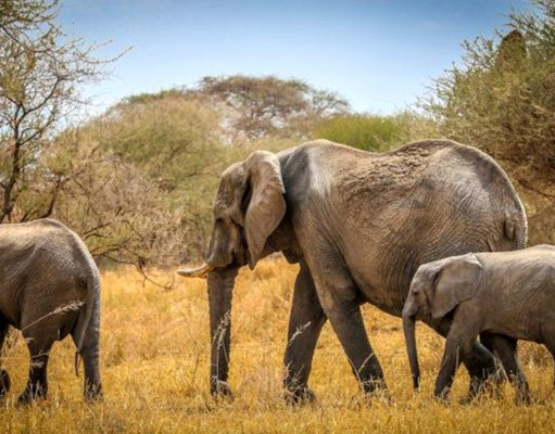 Amazing facts about elephants