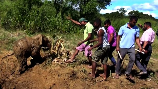Elephant mother and baby saved from a mud hole.