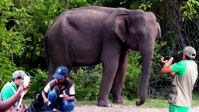 Failed attempt on tranquilizing a wild elephant