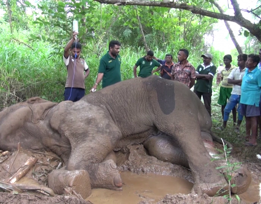 Injured Elephant In The Mud