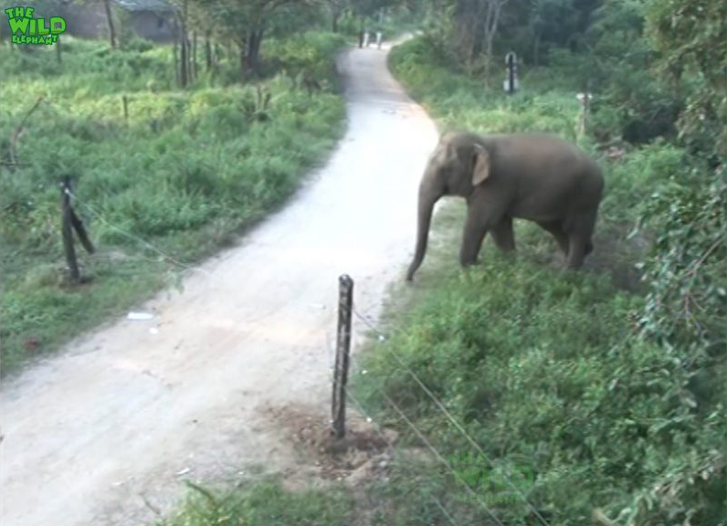 Happy Face the intelligent elephant destroys an electric fence