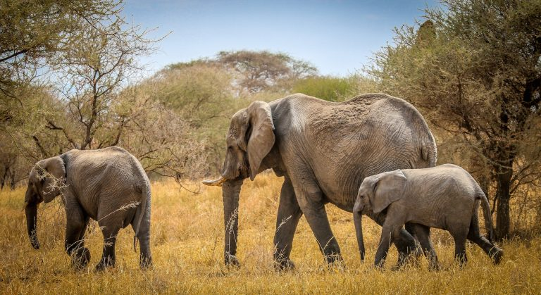 Amazing facts about elephants.