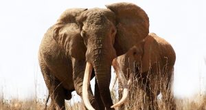Remembering Satao : One of the largest tuskers that lived