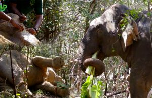 Huge elephant gets treated and injected by a rescue team