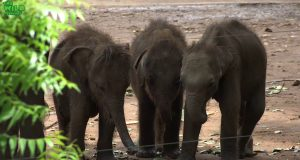 Elephant orphans queue to drink milk