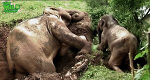 Incredibly agile elephant saved by kind humans