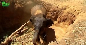 A Young elephant saved by humans