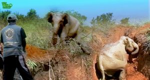 Mother and Baby Elephant Rescued by Heroic People