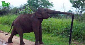 Smart elephant breaks an electric fence