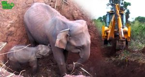 Baby and elephant mother saved from a pit by real-life heroes