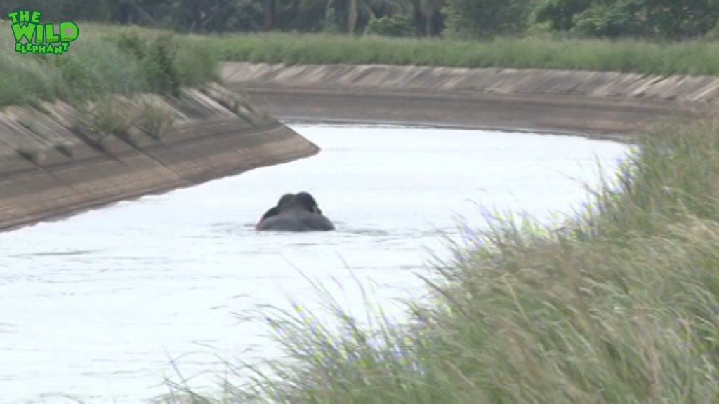One hard elephant rescue attempt from a canal