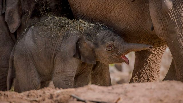 Unexpected baby arrival! Chester zoo celebrates the birth of a newborn baby three months after due date.