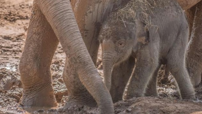 Unexpected baby elephant arrival