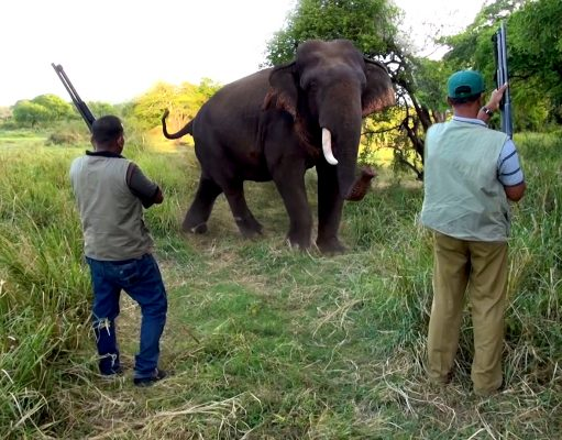 An Injured Elephant With A Single Tusk