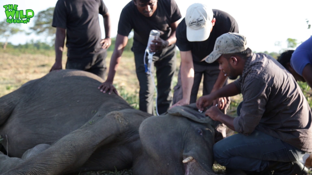 Fallen Giant Sick elephant gets transported to the elephant orphanage (part 1)