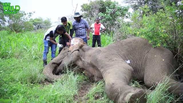 Injured elephant gets multiple injections from vet doctors and saline in the ear (Part 2)