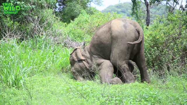 Injured elephant gets multiple injections from vet doctors (part 01)