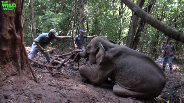 Elephant trapped with a wire is helpless. Wildlife team to the rescue.