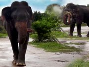 How elephants enjoy little things like the rain