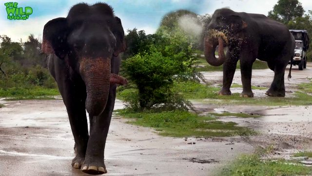 How elephants enjoy little things like the rain
