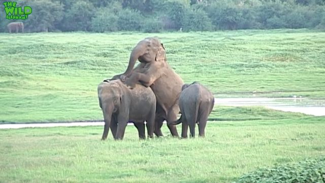 Elephants making love - This is how giant elephants mate