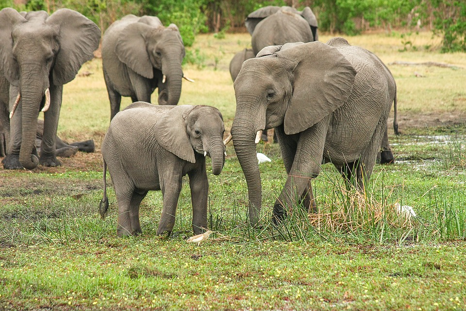 What do elephants eat and drink?
