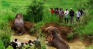 A Humble Giant Elephant Saved By Humbled People.